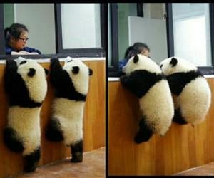 animals, panda, and sweet image