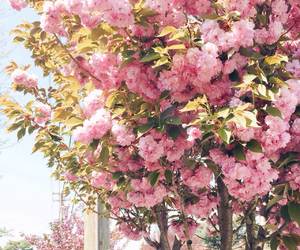 blossom, flowers, and japan image