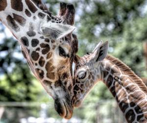 giraffe, animals, and baby image