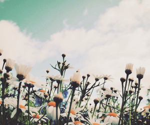 daisy, plant, and flower image