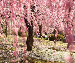 cherry, nature, and sakura image
