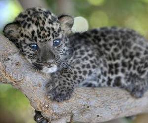 cute, animal, and leopard image