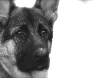 black and white, german shepherd, and puppy image