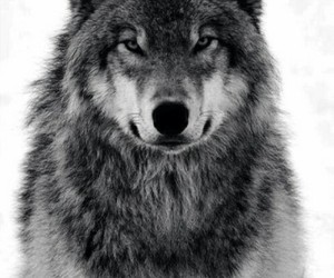 wolf, animal, and hipster image