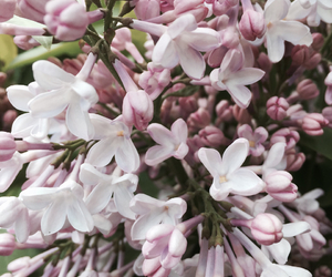 lilac, spring, and summer image