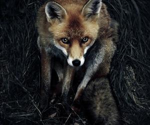 fox, animal, and dark image
