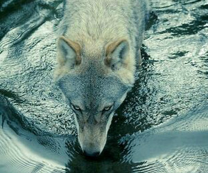 nature, wolf, and water image