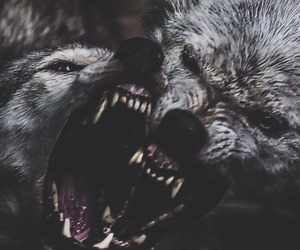 wolf, animal, and fight image