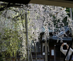 cherryblossom, flowers, and japan image
