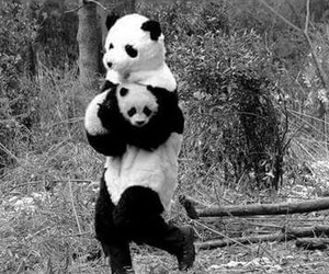 panda, animal, and funny image