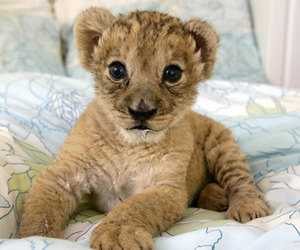 cute, lion, and animal image