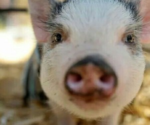 adorable, pig, and sweet image