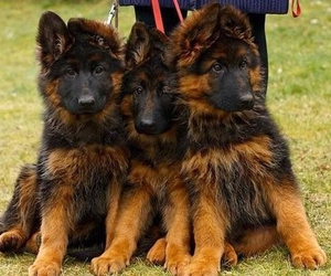 dog, gsd, and mittelwest image