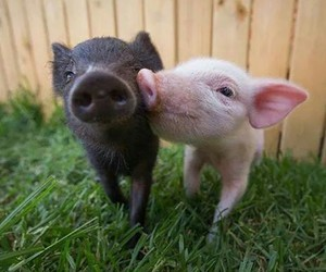 pig, adorable, and animal image