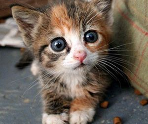 blue eyes, kitten, and cuter than cute image