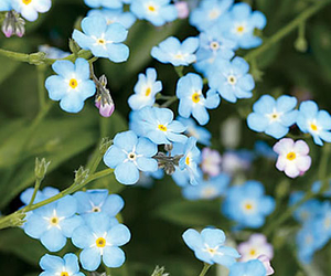 flowers, blue, and forget me not image