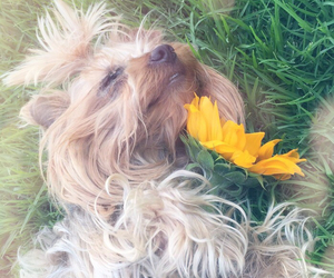 dog, sunflowers, and grass image