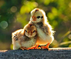 animal, bird, and Chick image