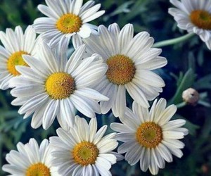 daisy, flowers, and summer image