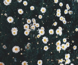 beautiful, daisies, and like it image