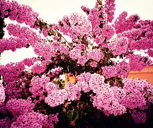 flowers, nature, and pink flowers image