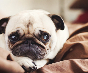 pugg and cute image