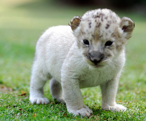 animal, cute, and tiger image