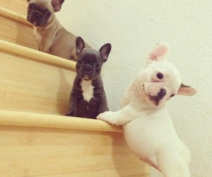 french bulldog and cutest puppies image