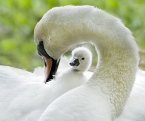 Swan, white, and adorable image