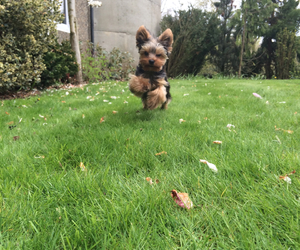 puppy yorkshire terrier image