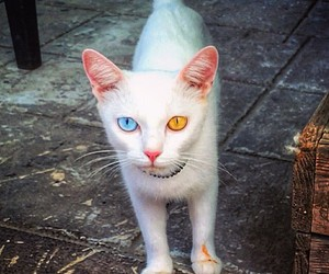 cat, beauty, and eyes image