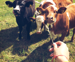 cows, summer, and sun image