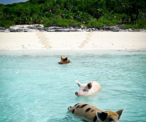 pig, animal, and beach image