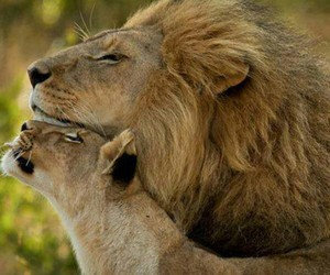 animals, lionne, and cute image
