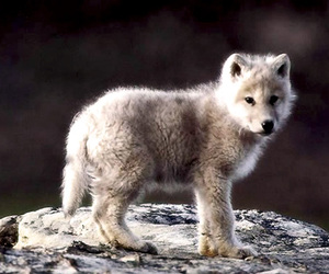 wolf, cute, and animal image