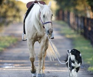 border collie, dog, and horse image