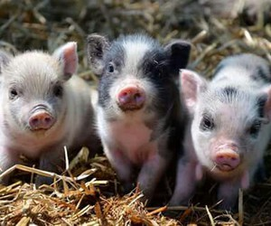 animals, pigs, and cute image