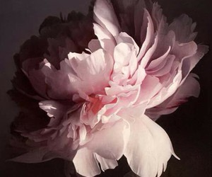 peonies and art image