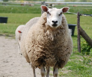 happy, sheep, and spring image