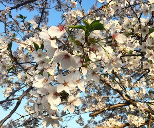 cherryblossom, nature, and flowers image