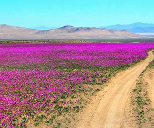 camino, flowers, and pink image