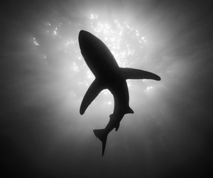 shark, black and white, and ocean image