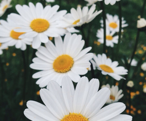 daisies, flowers, and iphone image