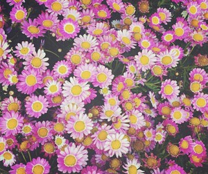daisy, flowers, and pink image