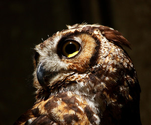 brown, great horned owl, and owl image