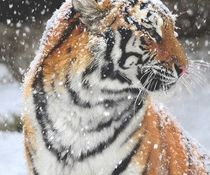 orange, winter, and tiger image