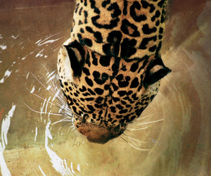 animal, leopard, and water image