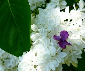 flower, white, and violett image