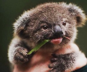 Koala, animal, and baby image