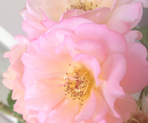 beauty, pink, and rose image
